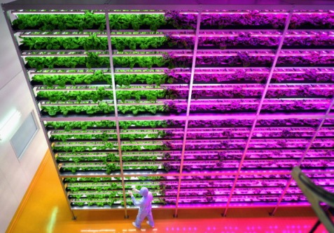 New LED-Farm Technology Boosts Lettuce Harvest By 50 Percent
